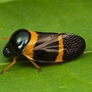 Cercopidae are the largest family of Cercopoidea, a xylem-feeding insect group, commonly called froghoppers