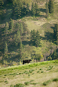 Black Angus Cattle of Upper Dry Creek Ranch