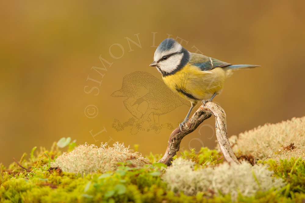 Blue Tit (Parus caeruleus) adult perched fallen branch, Norfolk, UK.