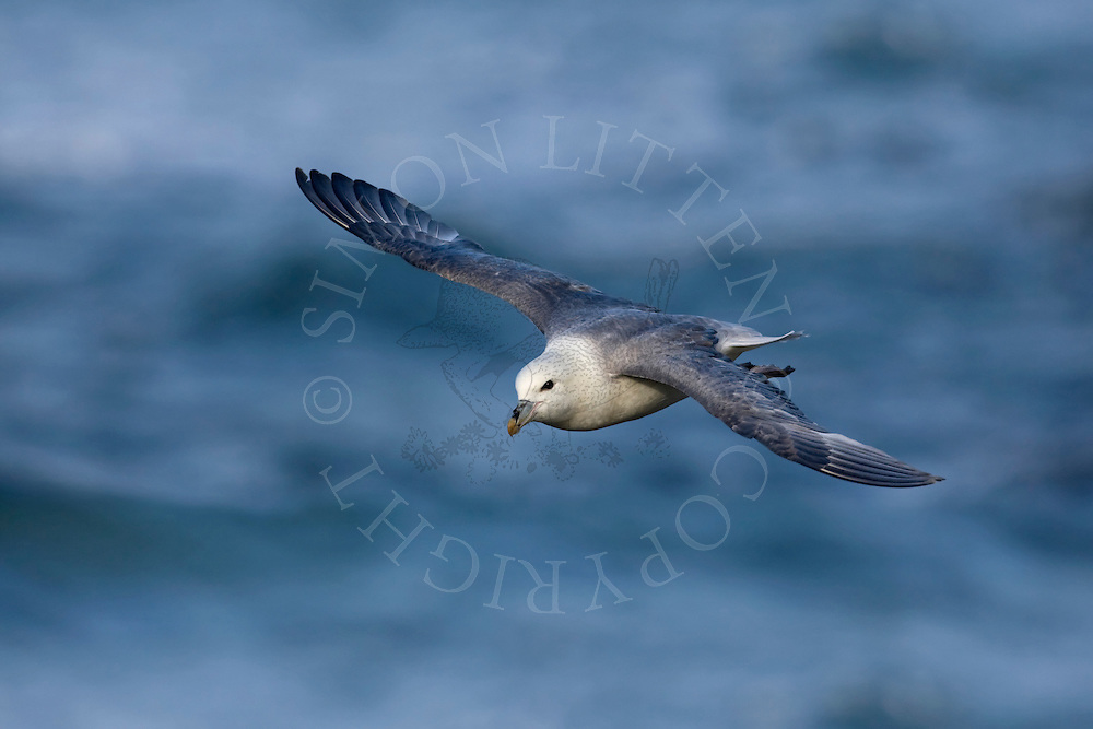 Northern Fulmar (Fulmarus glacialis) flying over the sea, Northumberland, UK