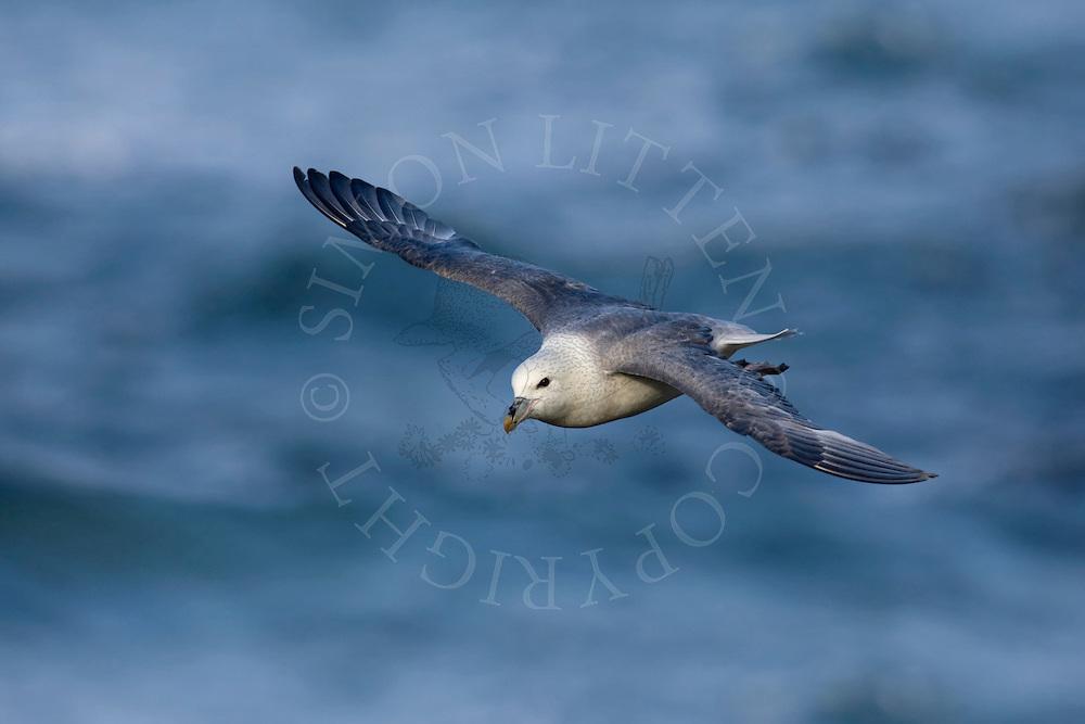 Northern Fulmar (Fulmarus glacialis) flying over the sea, Northumberland, UK
