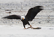 The eagles would see the dead salmon under the river ice and pull them out through small holes.  Often the eagle that did all the work to pull the fish out would be chased off by another eagle.