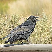 Common Raven photographed in Arizona