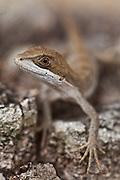 Contagem_MG, Brasil.<br /> <br /> Detalhe de um lagarto.<br /> <br /> A lizard.<br /> <br /> Foto: JOAO MARCOS ROSA / NITRO