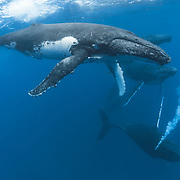 Six humpback whales (Megaptera novaeanglliae) engaged in a competitive group heat run, with one blowing bubbles.