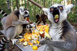 South Africa - Plettenberg Bay - 21 May 2020 - Ringtailed Lemurs and other primates eat at mealtime at Monkeyland just outside Plettenberg Bay in the Garden Route. Monkeyland, the worlds first free roaming multi-specie primate sanctuary, when not in lockdown, offers tours during which one can see more than 550+ primates comprising of capuchin monkeys, ringtail and black-and-white ruffed lemurs, saki monkeys, squirrel monkeys, vervet monkeys, 2 species of langur, howler monkeys, gibbons, etc in their forest home. There is also a 128-metre suspended canopy walk whilst on tour. In line with the national effort to confront the spread of the COVID-19 virus, the sanctuaries, Monkeyland, Birds of Eden, Jukani and Monkeyland KZN are temporarily closed. South Africa is currently under lockdown in an attempt to flatten the curve to halt the spread of the COVID-19 coronavirus pandemic. Picture: David Ritchie/African News Agency(ANA)