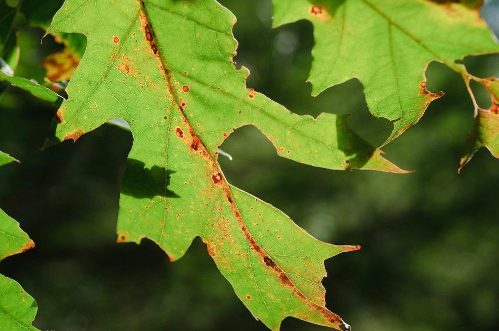 Amerikaanse eik, red oak Herfstblad, Autumn leave