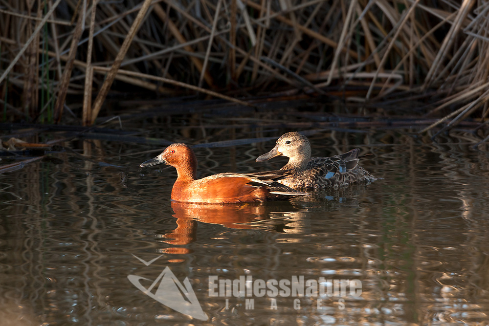 A male and female Cinnamon teal swims together in a pond during nesting season.