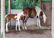 "A privately owned Chincoteague Pony mother horse and pony are displayed at a motel's pen on Chincoteague Island, Virginia, USA. The Chincoteague Pony (or Assateague horse) is a breed of small horse (Equus ferus caballus) which lives wild on Assateague Island in Virginia and Maryland, USA. The breed was made famous by the ""Misty of Chincoteague"" series written by Marguerite Henry starting in 1947. They can be any solid color, and are often found in attractive pinto patterns. Island Chincoteagues live on a poor diet of salt marsh plants and brush. Legend claims that Chincoteague ponies descend from wrecked Spanish galleons. They more likely descend from stock released by 1600s colonists escaping laws and taxes on mainland livestock. In 1835, pony penning began, with settlers rounding up and removing some ponies. In 1924 the Chincoteague Volunteer Fire Company held the first official ""Pony Penning Day,"" where ponies were auctioned to raise money, as done ever since. The federal government owns Assateague Island, which is split by a fence at the Maryland/Virginia state line, with a herd of around 150 ponies living on each side of the fence managed separately. The Maryland herd of ""Assateague horses"" lives within Assateague Island National Seashore and is treated as wild, except for contraceptives given to prevent overpopulation. The Virginia herd of ""Chincoteague ponies"" lives within the Chincoteague National Wildlife Refuge but is owned by the Chincoteague Volunteer Fire Company. The Virginia ponies get twice yearly veterinary inspections to cover possible auction sale into the outside world. Only about 300 ponies live on Assateague Island, but 1000 more live off-island, having been privately purchased or bred."