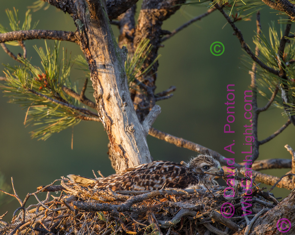 Juvenile red-tailed hawk  laying on nest in the early morning, alert and bright-eyed. © 2011 David A. Ponton, [Prints to 8x10, 16x20, 20x24 or 24x36 in. with no cropping]