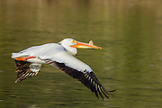 American White Pelican (Pelecanus erythrorhynchos) - Oxbow Bend, Grand Teton National Park, WY