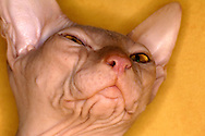 Deu, Deutschland: Sphynx-Katze (Felis silvestris forma catus), Portraet, close-up, Zucht bei der die Katzen voellig haarlos sind, Uetersen, Schleswig-Holstein | DEU, Germany: Sphynx cat (Felis silvestris forma catus), portrait, close-up, hairless breed of cat, Uetersen, Schleswig-Holstein