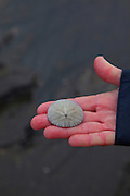 Sand Dollar, Ocean raft and 4x4 Adventure tour, North Beach, Kruzof Island, Sitka, Alaska