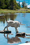 Mountain Goat, Oreamnos americanus, Glacier National Park, Montana on July 12, 2012.  (Photo by Aaron Schmidt © 2012)