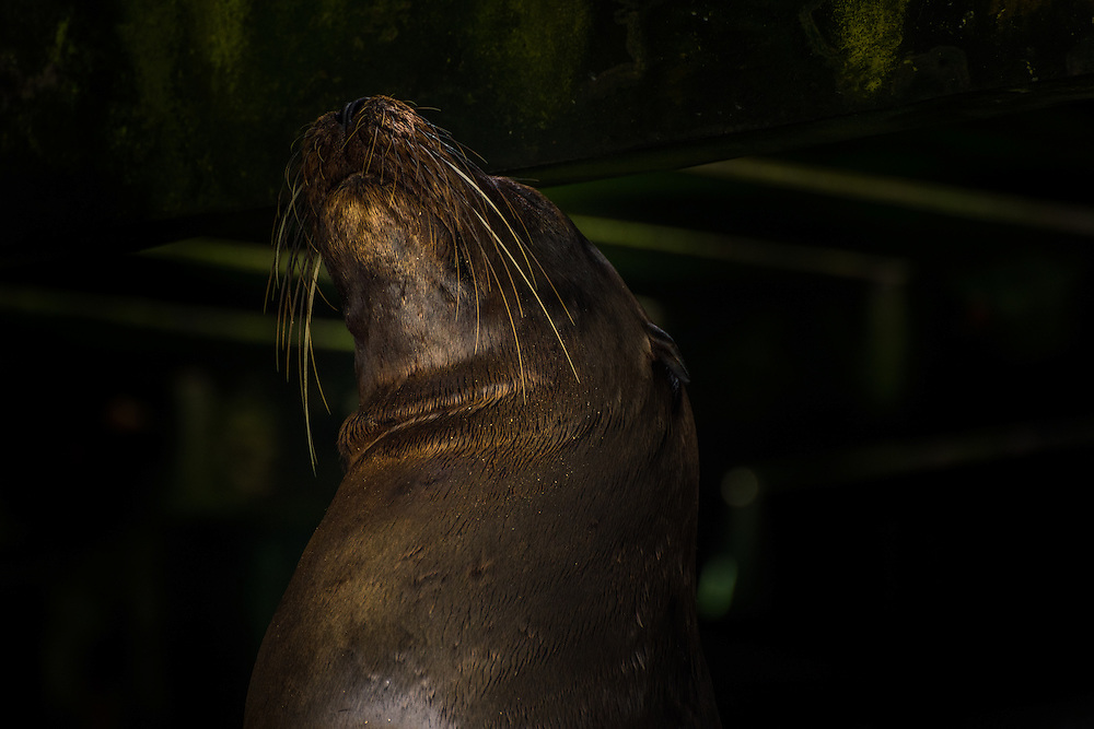 Sea lion is resting under the pier, Santa Cruz, Galapagos, Ecuador.