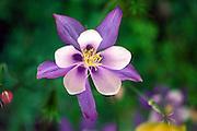 columbine; Aquilegia coerulea; wildflower; purple/white; Colorado; CO; summer