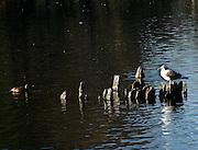 Ducks at Crystal Springs Park