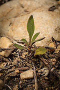 The seedling of a rare lemhi penstemon (Penstemon lemhiensis) at Big Hole National Battlefield, Montana. The plant is considered at risk for extinction by the Montana Natural Heritage Program and It is a category 2 candidate for federal listing as threatened.