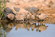 chicks of a sand partridge (Ammoperdix heyi) is a gamebird in the pheasant family Phasianidae of the order Galliformes, gallinaceous birds.