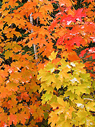 Fresh snow falls on tree foliage changing from green to yellow, orange and red in late September in Superior National Forest, Minnesota, USA.
