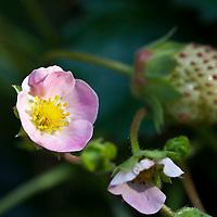 The pink-flowered strawberry (Fragaria x ananassa 'Pink Panda)
