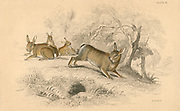 Rabbit (Oryctolagus cuniculus), the Old World rabbit. [1828]. A rodent introduced to Britain by the Normans in the 11th century as a protein source, it has become an agricultural pest.  It was introduced to Australia with disastrous results.  From 'British Quadrupeds', W MacGillivray, (Edinburgh, 1828), one of the volumes in William Jardine's Naturalist's Library series. Hand-coloured engraving.