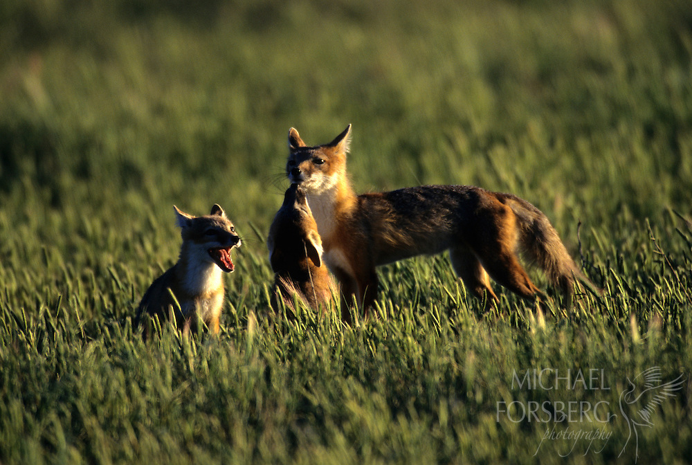Swift foxes.  Smoky Valley Preserve, west Kansas.