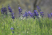 Spring wildflowers blooming in a field. Photographed in Israel in March