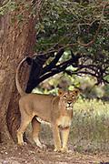 Asiatic Lion (Panthera leo persica) lioness marking territory, Gir National Park, Gujarat, India