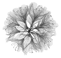 X-ray image of a rhododendron bloom (Rhododendron, black on white) by Jim Wehtje, specialist in x-ray art and design images.