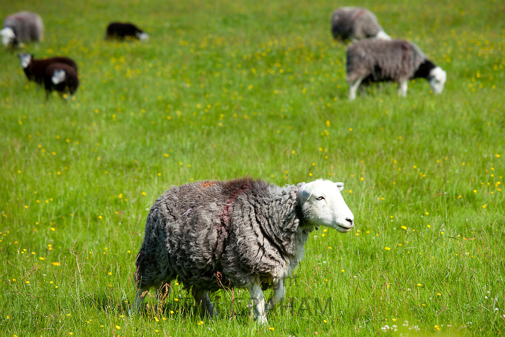 Traditional Herdwick sheep at  Eskdale in the Lake District National Park, Cumbria, UK