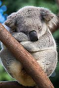Koala <br /> Phascolarctos cinereus<br /> Adult male sleeping<br /> Queensland, Australia<br /> *Captive<br /> *Digitally removed crack in log