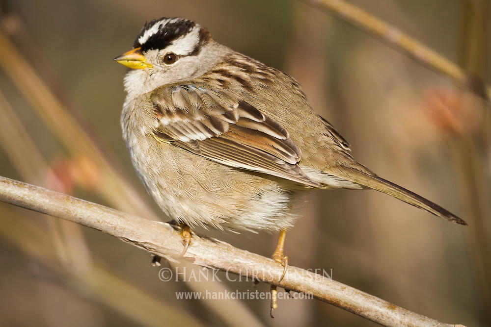 A white-crowned sparrow perches on a narrow branch in the morning sun