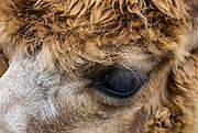 Alpaca portrait eye detail.