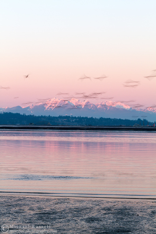 A flock of Canada Geese (Branta canadensis) fly in in front of Mount Blandshard (The Golden Ears) and Mount Robbie Reid and above the banks of the Nicomeckl River. Photographed from Blackie Spit/Crescent Beach in Surrey, British Columbia, Canada