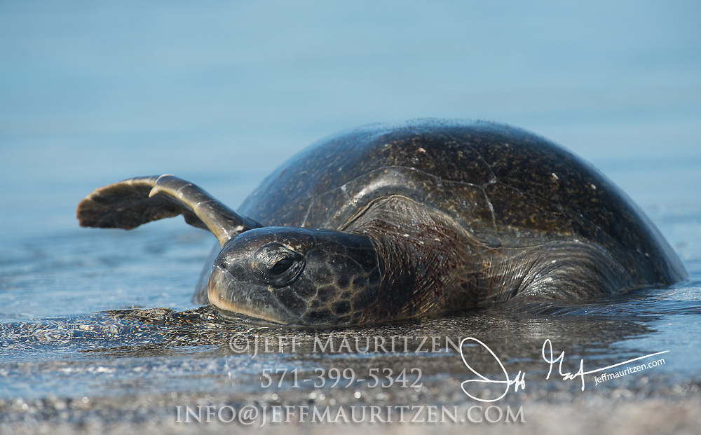 A Galapagos green sea turtle rests in a protective beach on Fernandina island in the Galapagos archipelago of Ecuador.