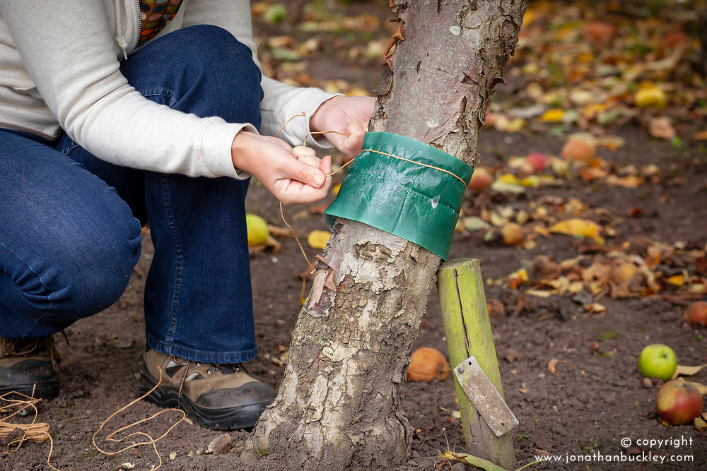 Putting a grease band on the trunk of an apple tree to trap winter moths