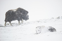 A juvenile Musk Oxen, Ovibos moschatus, is getting totally snowed in while a blizzard whipes across Dovrefjell NP, Norway. A youngster walkes along the ridge in the background.