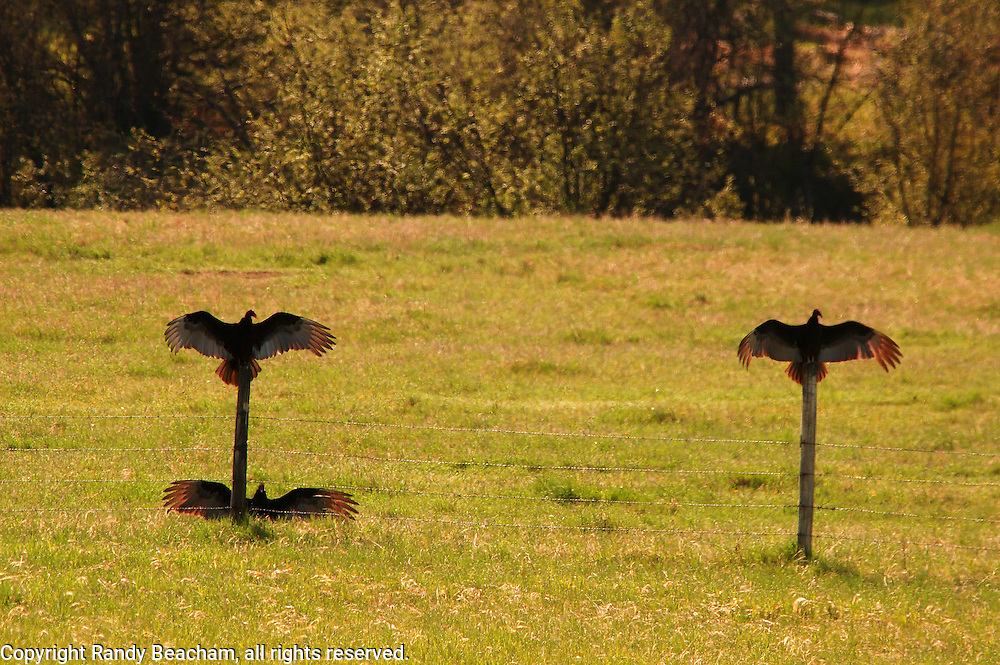Turkey vultures on fence and meadow drying wings. Yaak Valley, northwest Montana.