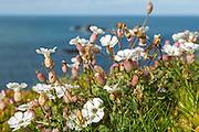 Lizard Point cliff flowers