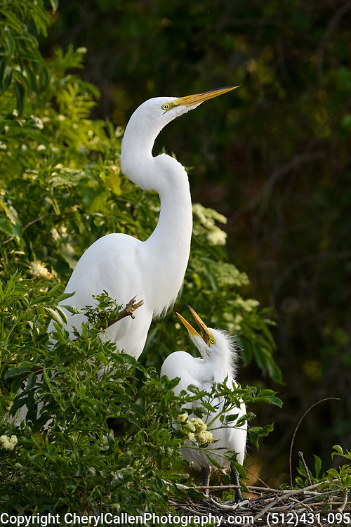 Great Egret mom and chick in the nest