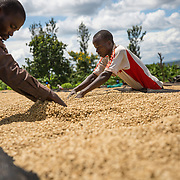 Coffee is spread on drying tables at Rwacof Cooperative in Rwanda. Photographed on Sunday, April 30, 2017.  (Joshua Trujillo, Starbucks)