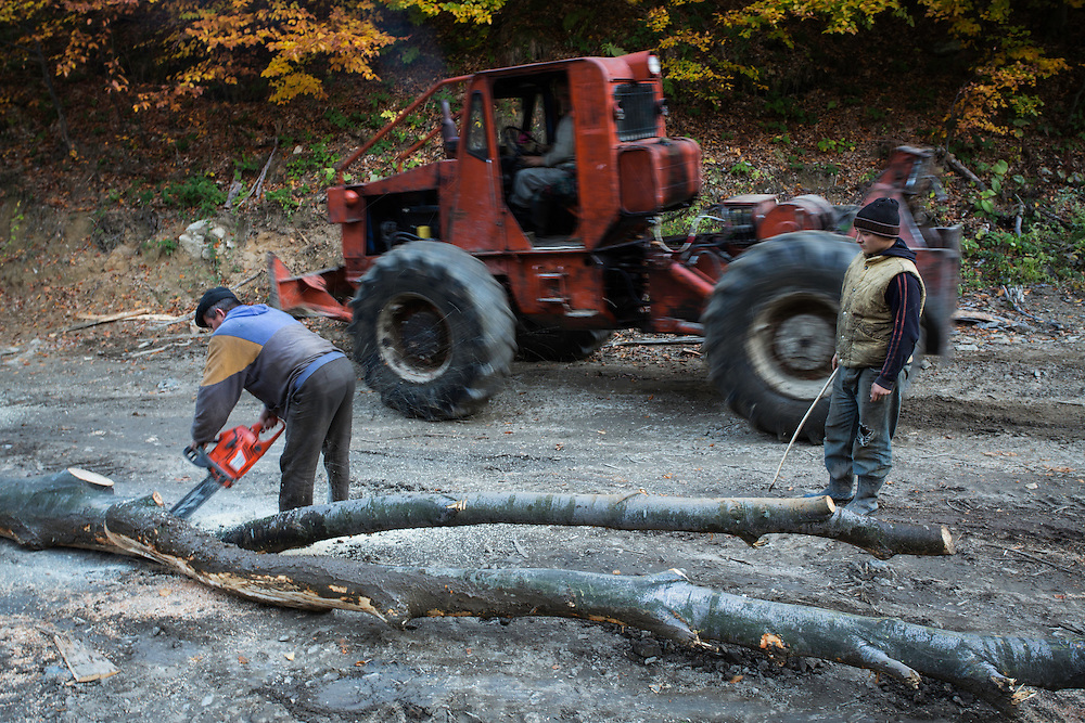 Cut Common beech (Fagus sylvatica) logs and men operating Articulated Forest Tractor (TAF) or measuring the wood.  Southern Carpathians, Mehadia, Caras Severin, Romania.