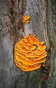 AWY787 Chicken of the woods fungus laetiporus sulphureus