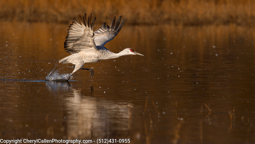 Sandhill Crane walking on water to get lift off