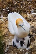 Gannet and chick at Gannet Colony, Otakamiro Point, Muriwai Beach, Northland, New Zealand