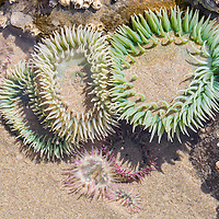 Sea anemones in a tide pool, On a Beach State Park, near Newport, Oregon.