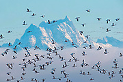 A large flock of snow geese (Chen caerulescens) take flight over a backdrop of the snow-capped Whitehorse Mountain rising over a fog bank in the North Cascades of Washington state. Tens of thousands of snow geese winter each year in Washington's Skagit Valley.