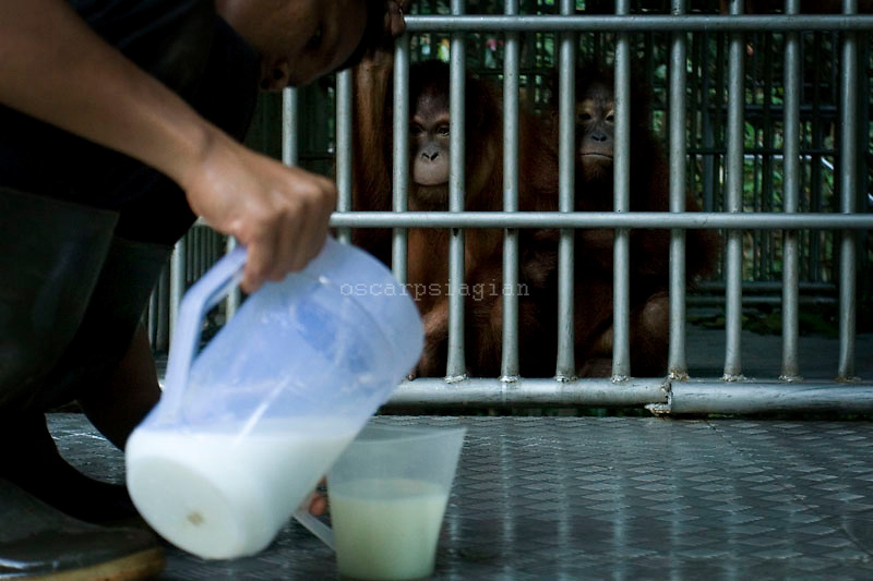 The FZS worker giving some milk for Orang Utan inside center of reintroduction at Sungai Pengian station, jambi Indonesia. Orang Utan is one of endangered animal that live in Indonesia and Malaysia forest. Their DNA is 97% same like human