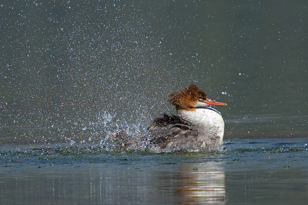 Mergansers tend to live towards the headwaters of larger rivers and streams and are excellent fishermen, consuming mostly local trout and the occasional mollusk or crustacean.